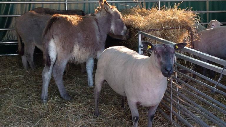 Eselstute Molli steht mit ihren Schützlingen im Stall