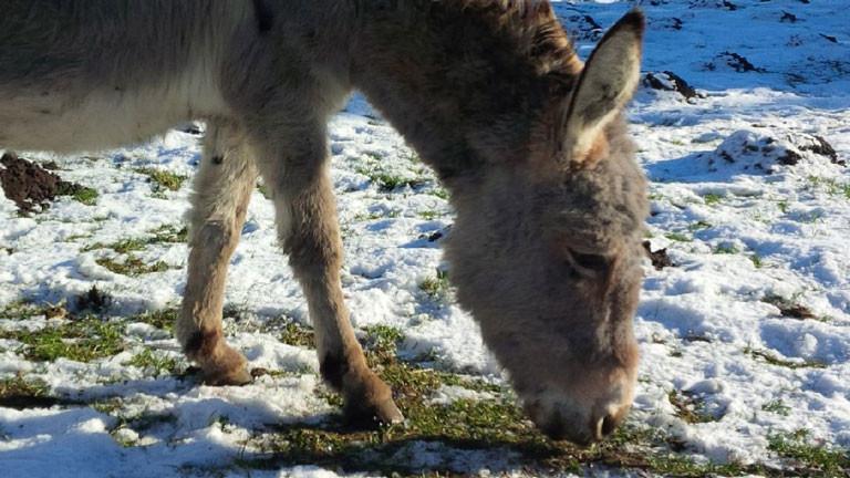 Die Eselstute Molli soll auf eine Schafherde aufpassen und den bösen Wolf abwehren.
