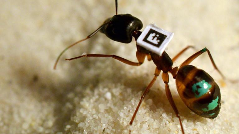 Eine Camponotus fellah mit QR-Code und grüner Farbmakierung