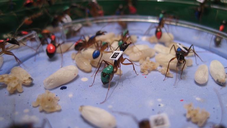 Die Ameisen sind mit Farbe und QR-Code markiert. Hierbei handelt es sich um die Gruppe der Kindergärtnerinnen.