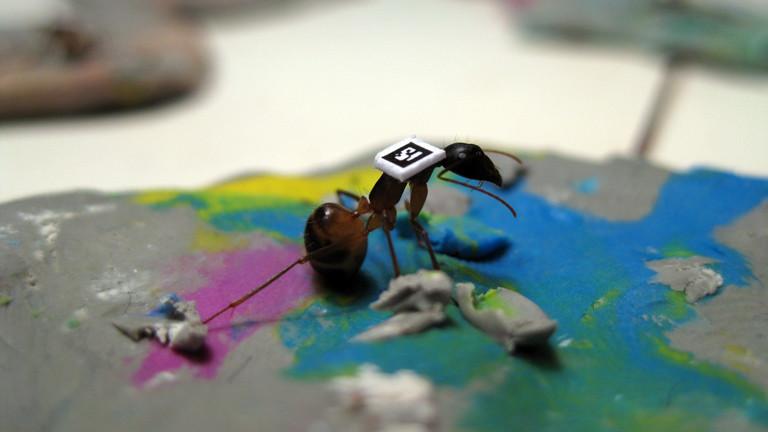 Eine Camponotus fellah klebt noch im Knet fest. Hier wird sie mit Farbe und QR-Code markiert.