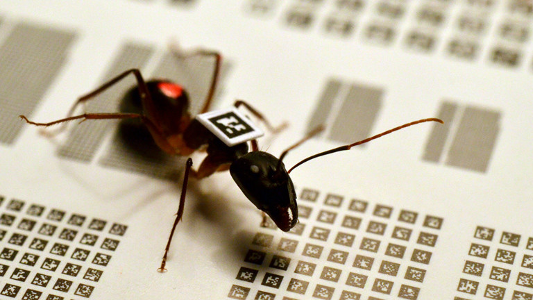 Eine Camponotus fellah mit QR-Code