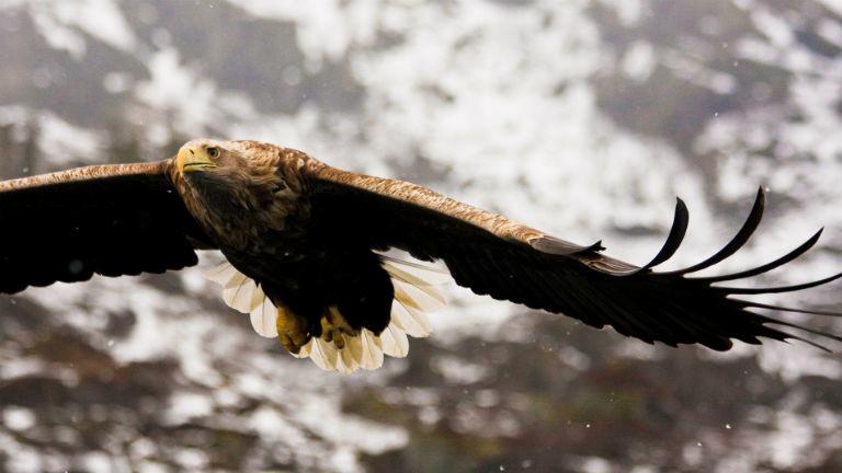 Ein Adler, der mit ausgebreiteten Schwingen über dem Wasser schwebt.