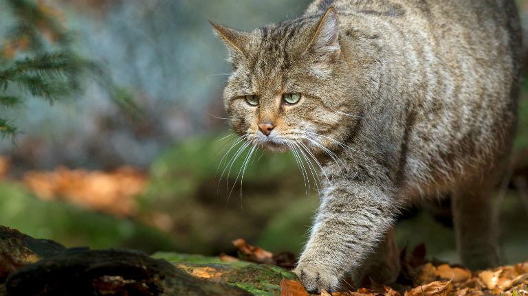Eine Wildkatze streift durch den Wald. Bild: dpa