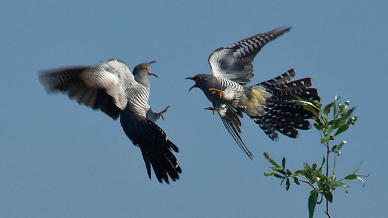 Zwei Kuckuck-Männchen kämpfen miteinander.