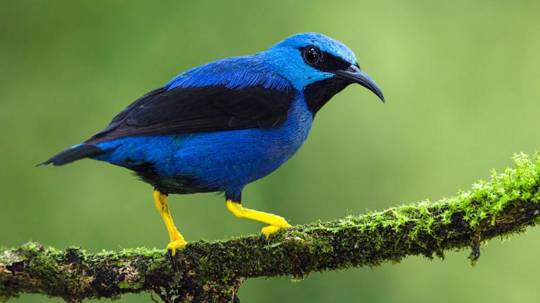Das Azurnaschvogel-Männchen