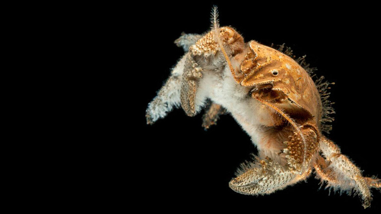 Die David-Hasselhoff-Krabbe in der Tiefsee.