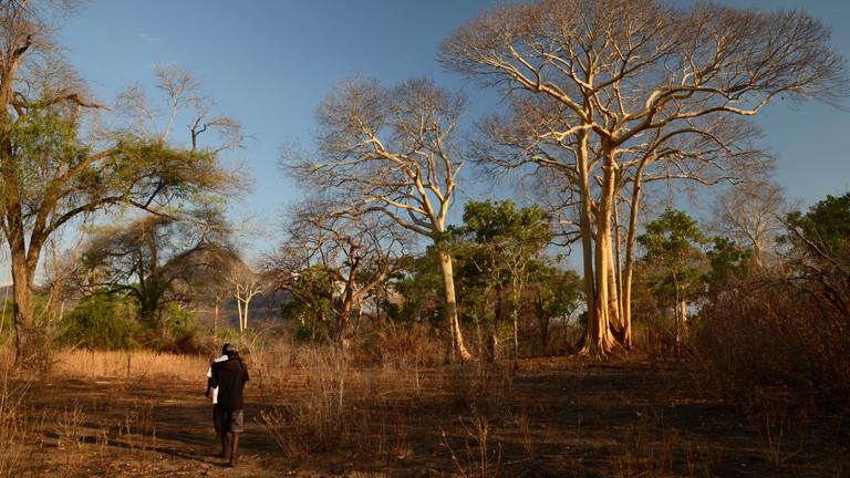 Die Yao-Honigjäger suchen nach dem Honiganzeiger im Niassa Nationalpark in Mosamibik.