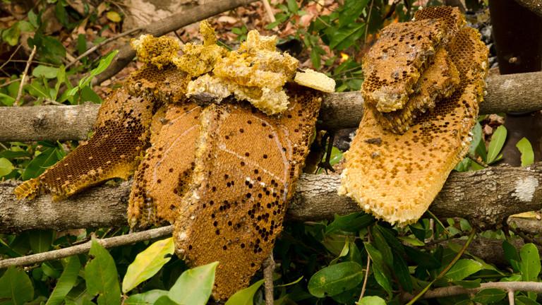 Ein Teil der Honigernte aus einem wilden Bienenstock im Niassa Nationalpark in Mosambik
