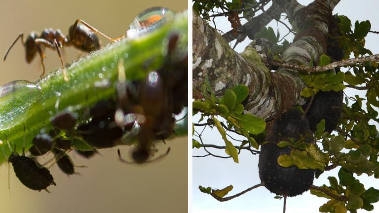 ameisen anbau von kaffeepflanzen auf den fidschi inseln dlf nova. Black Bedroom Furniture Sets. Home Design Ideas