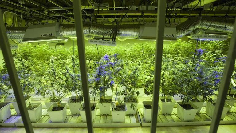 Riesige Gewächshäuser für Hanfpflanzen.