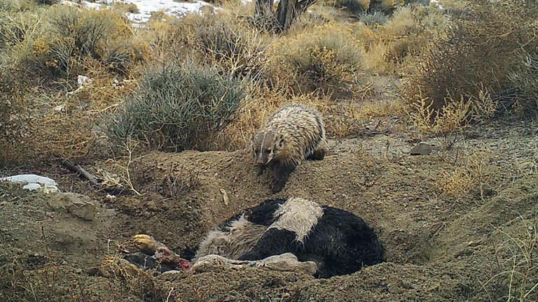 Silberdachs vergräbt Kuh-Kadaver