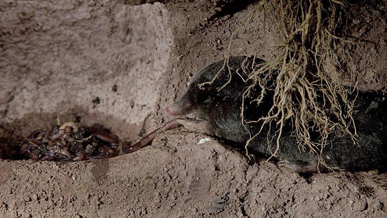Maulwurf hortet Regenwürmer