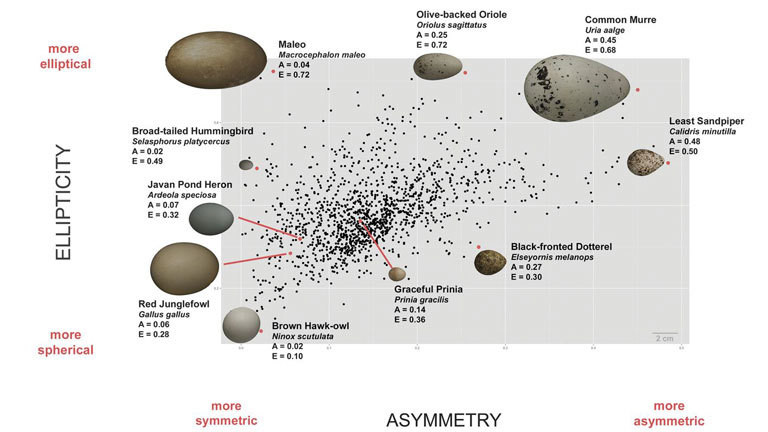 Vermessung von Vogeleiern, Studie Avian egg shape: Form, function, and evolution