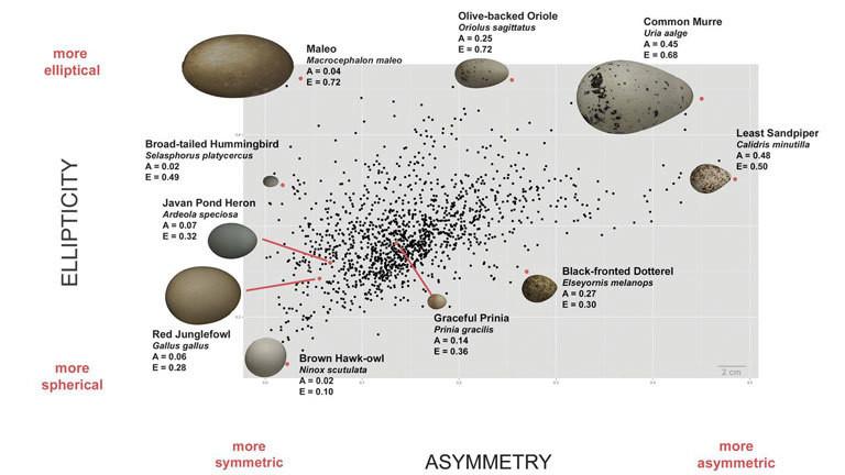 Vermessung von Vogeleiern, Studie Avian egg shape: Form, function, and evolution