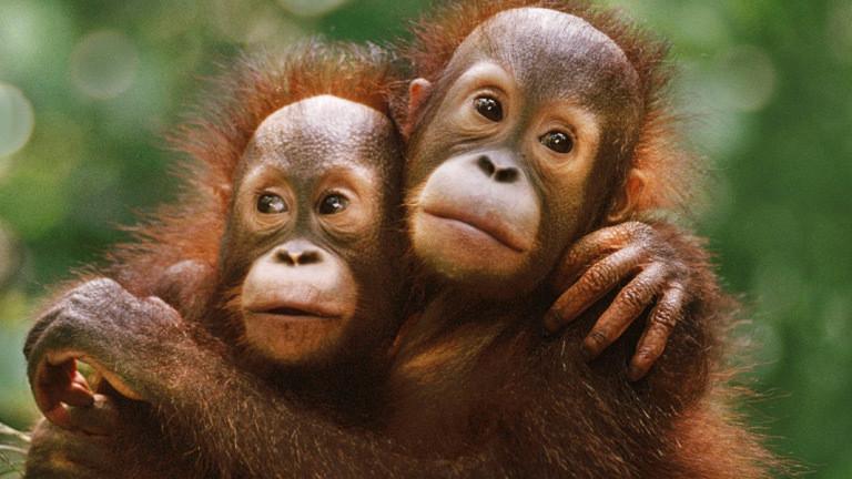 Zwei Orangutans umarmen sich.