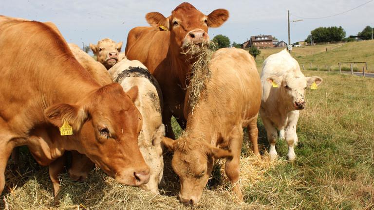 Kühe auf einer Weide.