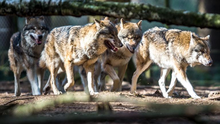 Ein Wolfsrudel im Wald.