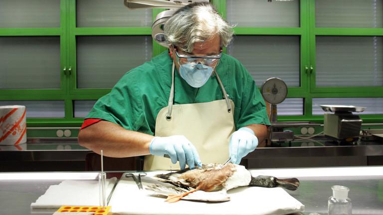 Ein Facharzt für Tierpathologie untersucht eine tote Ente.