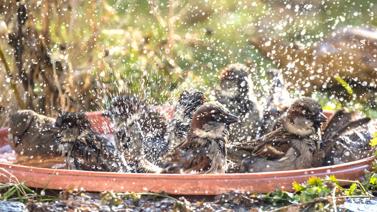 Spatzen baden in einem Blumentopuntersetzer.