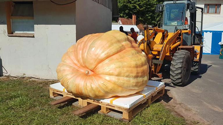 Mario Weishäupl hat mit 916 Kilo Deutschlands größten Kürbis gezüchtet.
