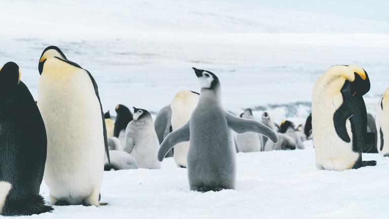 Kaiserpinguine in der Antarktis
