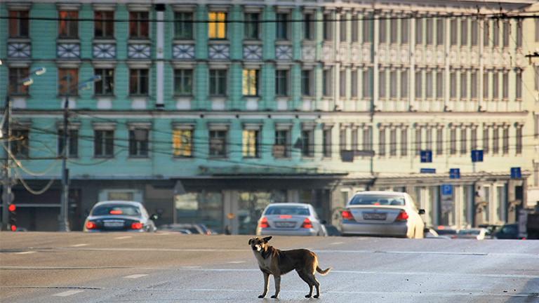 Moskauer Straßenhunde beherrschen die Ampelschaltung.
