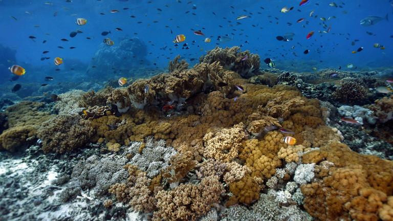 Korallengarten mit tropischen Fischen, Nusa Lembongan, Bali, Indonesien