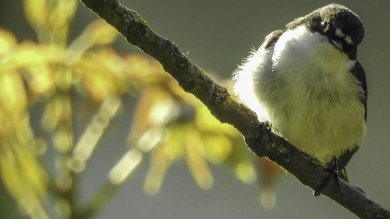 Trauerschnäpper auf einem Ast