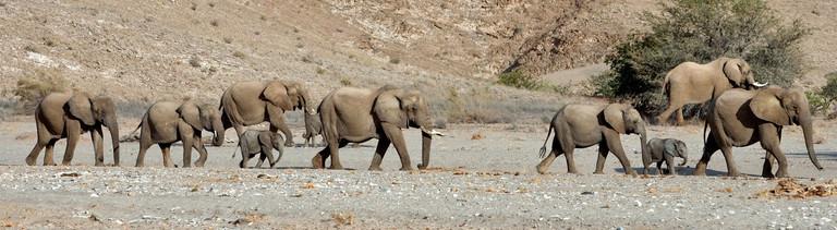 Eine Herde Wüstenelefanten laufen durch ein Trockenflussbett