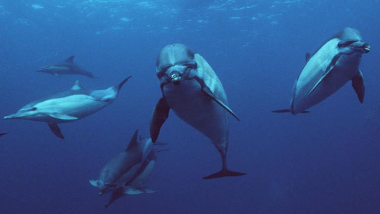 Fast alle Delfine sind Rechtshänder
