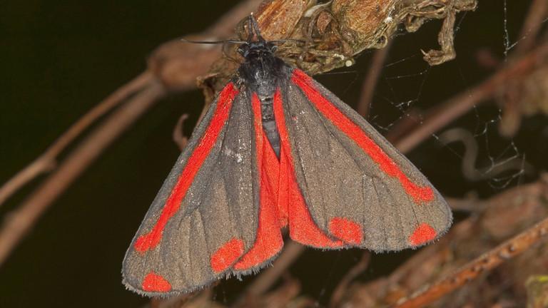 So sieht der Blutbär als Schmetterling aus.