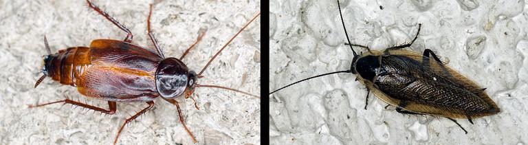 Montage: Links eine Kakerlake auf hellem Boden, rechts eine Waldschabe auf hellem Boden.