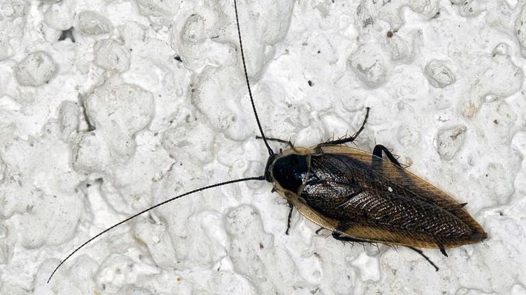 Oft verwechselt: Waldschaben sind keine Kakerlaken