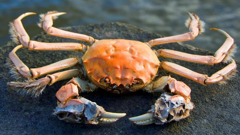 Esst eingewanderte Krabben!