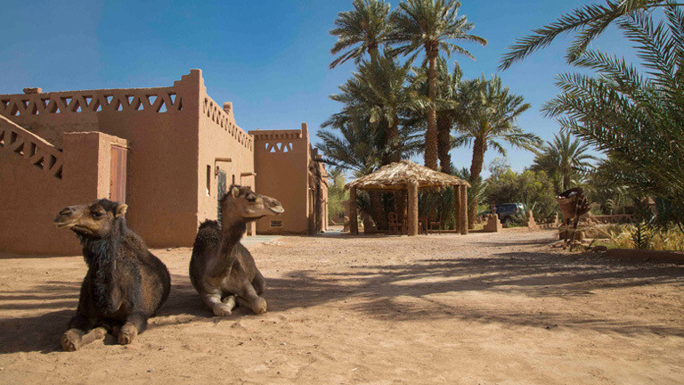 Kamele vor der Farm in Marokko.