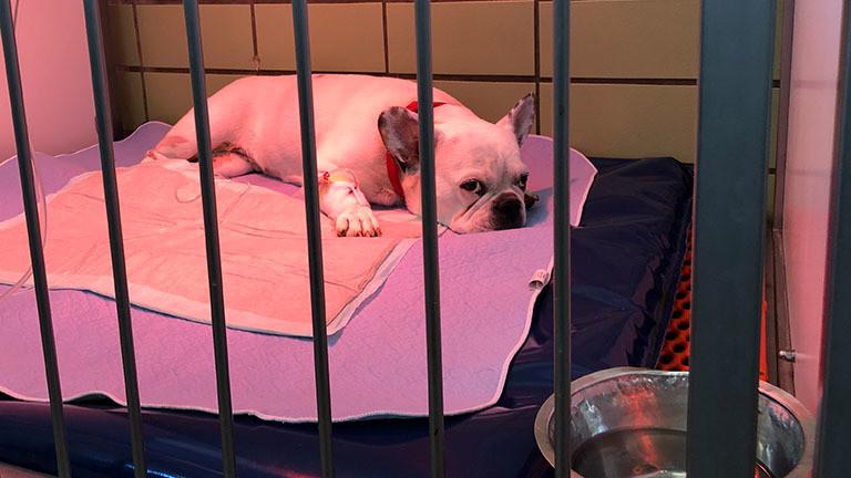 Französische Bulldogge Pola sitzt in einem Käfig in der Tierklinik.