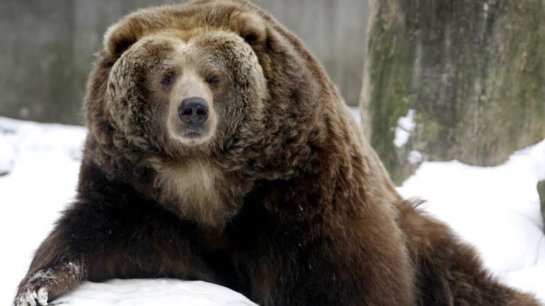 Alaska wählt den fettesten Bären