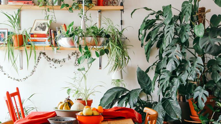 Omas Zimmerpflanze sind zurück