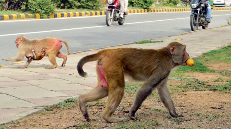 Ein Affe läuft über die Straße, er hat eine Orange geklaut.
