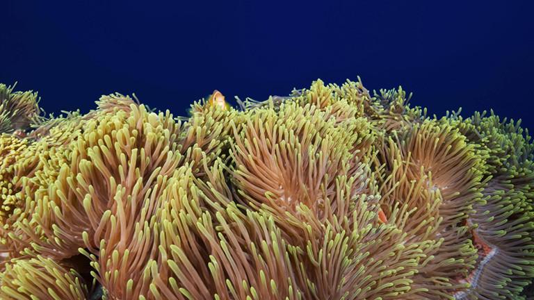 Seeanemone oder auch Prachtanemone genannt im Indischen Ozean.