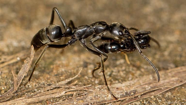 Eine Blaulichtameise transportiert eine verletzte Matabele-Ameise zum Nest.