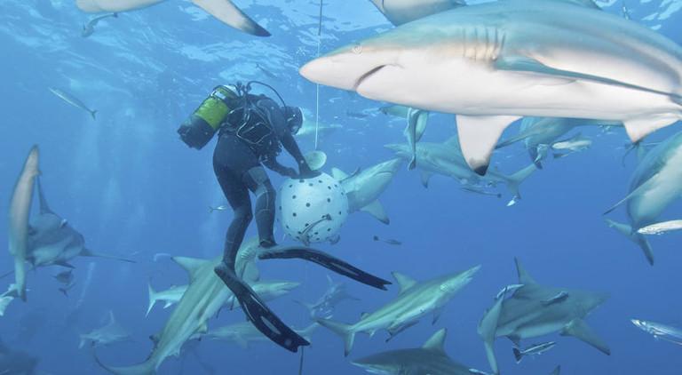 Ein Taucher füttert Haie mit Sardinen.