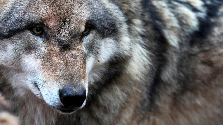 Ein europäischer Grauwolf