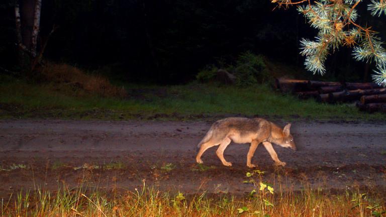 Ein Wolf tappt in eine Fotofalle im Wald.