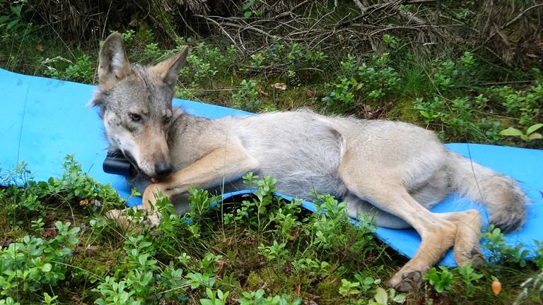 Ein junger Wolf liegt auf einer Matte, um seinen Hals ein Peilsender.