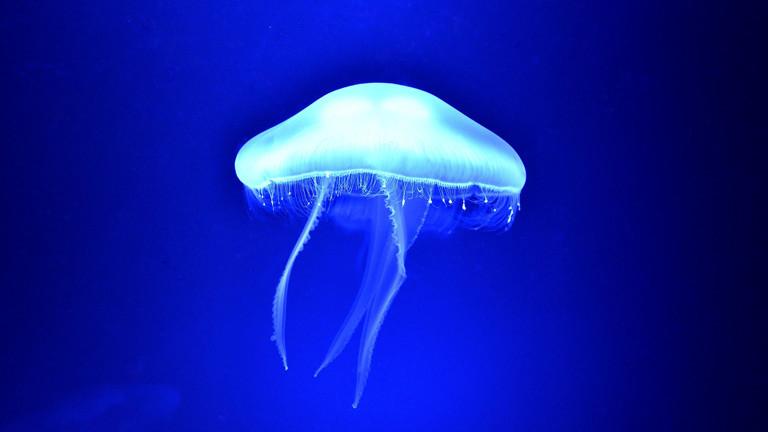 Qualle, leuchtend unter Wasser