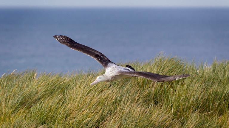 Albatros über einer Düne