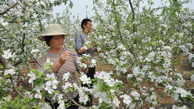 Ein chinesischer Bauer und eine Bäuerin bestäuben Apfelbäume per Hand.