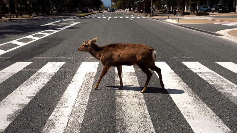 Hirsch in der japanischen Stadt Nara überquert Zebrastreifen.